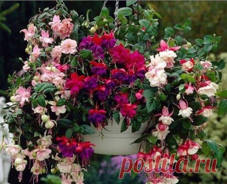 Фуксии известны как популярные комнатные цветы. Но их можно успешно использовать в дизайне сада — для оформления зон отдыха, патио, входа в дом.