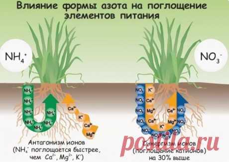 Зачем нужен АЗОТ растениям?