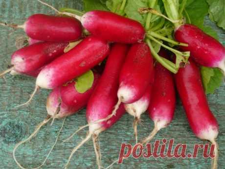 """Редис """"18 дней"""": выращивание дома и в открытом грунте, описание и фото этого сорта овоща, его преимущества и недостатки, а также похожие виды корнеплода"""