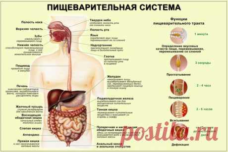Пищеварительная система человека: строение и функции различных органов
