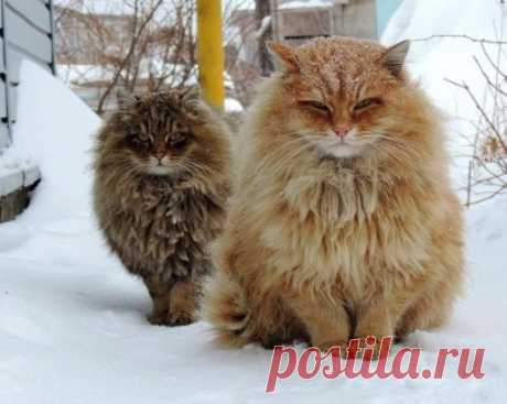 Сибирская братва - это Вам ни лысые кошки с Египта..