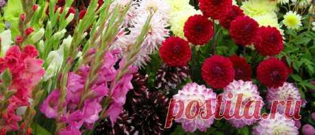 Георгины фимбриата – яркие кружевные цветы в дизайне сада