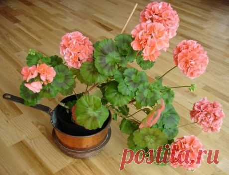 Que sobrealimentar el geranio para el florecimiento abundante