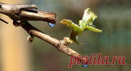 Рекомендации по уходу за виноградом после зимы: подкормка, полив, обрезка