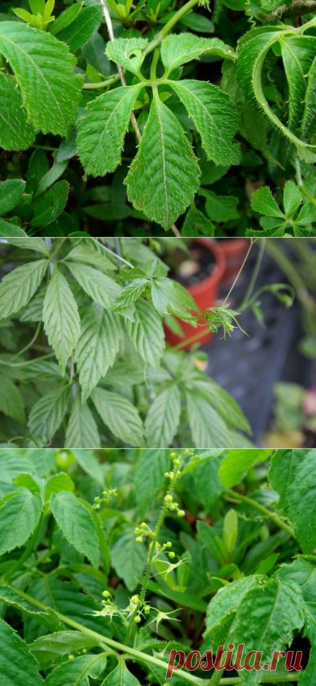 Гиностемма пятилистная — трава бессмертия в вашем саду