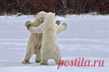 и у медведей бывают танцы )))