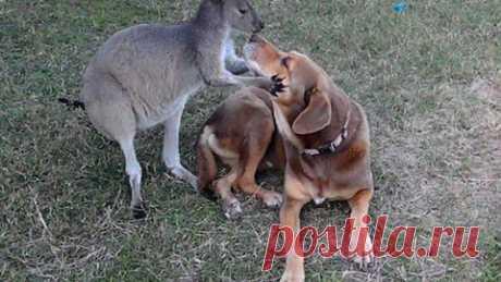 Серая кенгуру из зоопарка в Орландо влюбилась в собаку | Уши, лапы, хвост
