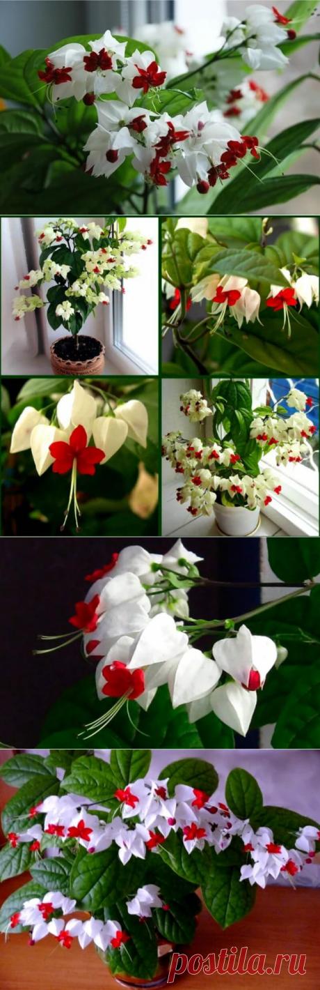 Красивейший комнатный цветок, который цветет почти круглый год и привлечет в Ваш дом счастье и большую удачу в любви и в делах — Бабушкины секреты