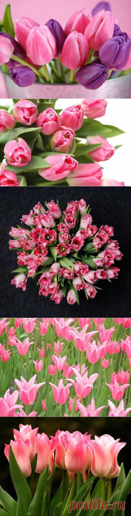 Розовые тюльпаны | Удивительное и смешное в картинках