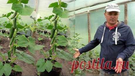 Как с пяти огурцов собрать большой и ранний урожай? Наш способ.