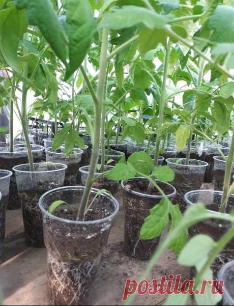 Подкормка томатов. Мой опыт. | Огородник из Рязани | Яндекс Дзен