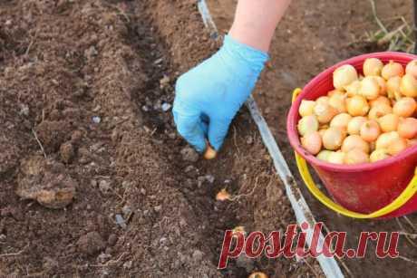 """Китайский метод выращивания лука: особенности и преимущества   Журнал """"JK"""" Джей Кей Выращивать репчатый лук можно разными способами, и один из самых эффективных – это китайский, или, как его еще называют, на"""