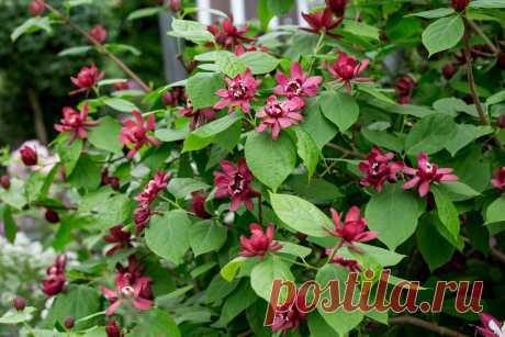 Новые кустарники, цветущие все лето и превосходящие по красоте розу | посуДАЧИм об огороде | Яндекс Дзен