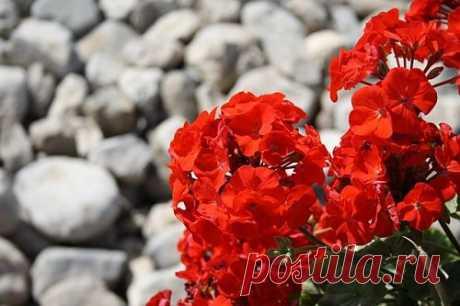 Чем полить герань для пышного цветения Герань совершенно неприхотлива, при правильном уходе цветет практически без перерыва. Также герань абсолютно без проблем размножается.