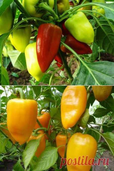 10 ошибок при выращивании перца | Дачный участок