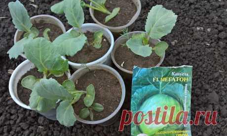Высаживаем рассаду капусты. Мой способ посадки и благоприятные дни в мае и июне 2021 | Садовичок | Яндекс Дзен