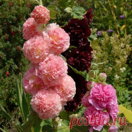 Что я делаю, чтобы стебли Мальвы (шток-розы) были усыпаны цветами, а не торчали скудными палками с парой соцветий   Рукоделкино   Яндекс Дзен