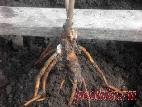 Пион древовидный: выращивание в Подмосковье