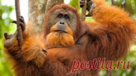 Как выглядит, где обитает и чем питается обезьяна орангутан? Какая продолжительность жизни у животного? Какой интеллект у обезьянок?