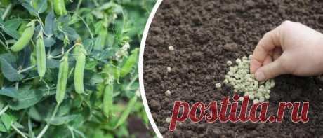 Как и когда сажать Горох весной в открытый грунт. Небольшие секреты выращивания гороха, а также как надо прищипывать горох | Огородик у дачи | Яндекс Дзен