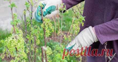 Уход за смородиной весной – как правильно обрезать, подкормить и обработать кусты Смородина не слишком прихотлива. Но все же не стоит забывать о кустарнике, иначе урожайность начнет снижаться, а ягоды – мельчать. Поэтому найдите время на три главные весенние процедуры: обрезку, подкормку и защиту от болезней и вредителей.
