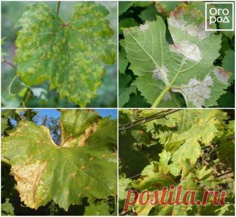 На листьях винограда появились пятна – что делать и чем лечить кусты | Виноград (Огород.ru)