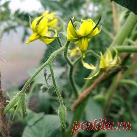Борная кислота - применение для увеличения урожая