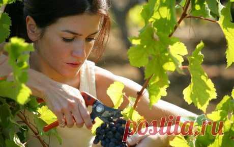 Свободная обрезка взрослых кустов винограда