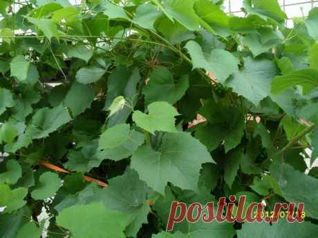 Правильная обрезка винограда — Полезные советы