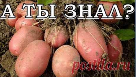 как вырастить с 20 кустов картошки 40 ведер