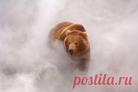 Медведь  выходит  из  тумана...