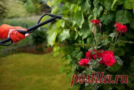 Особенности опрыскивания роз железным купоросом осенью