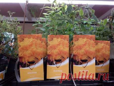 Леруа Мерлен: кустарники в горшках и пакетах. | Марина Жолобова | Яндекс Дзен