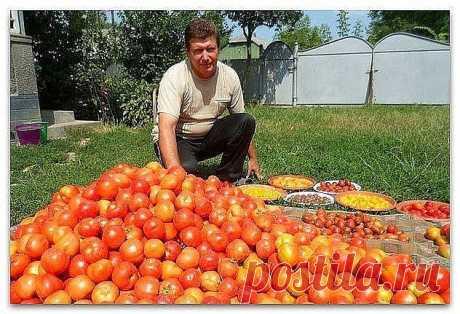 Волшебный бальзам для роста помидоров от садовода-огородника Владимира Андриянина!
