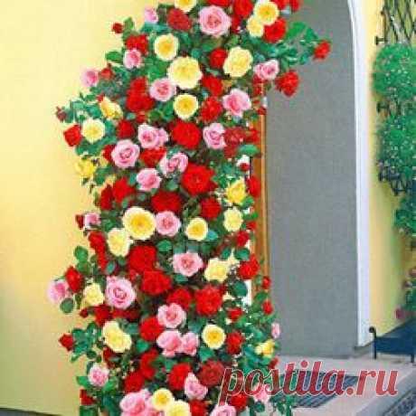Плетистые розы: купить саженцы вьющихся роз в Москве | Беккер - страница 2