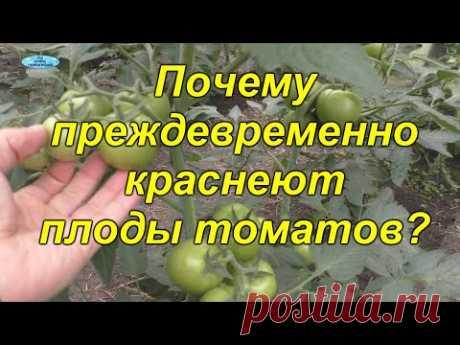 Как не допустить преждевременного покраснения помидор.