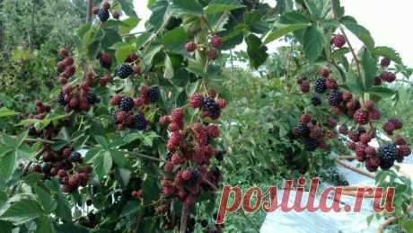 Особенности выращивания ежевики
