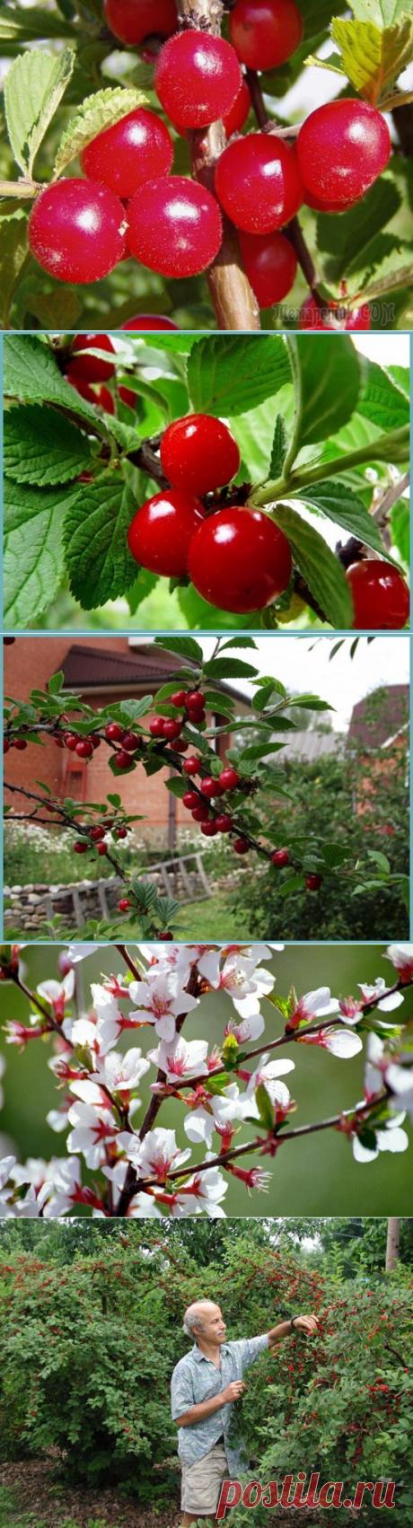 Войлочная вишня: посадка, уход и размножение в средней полосе