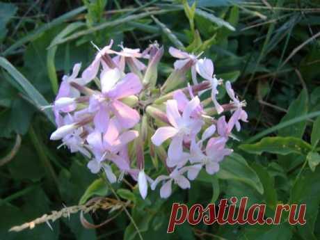 Сапонария «собачье мыло». Как использовать это растение? — Чудеса