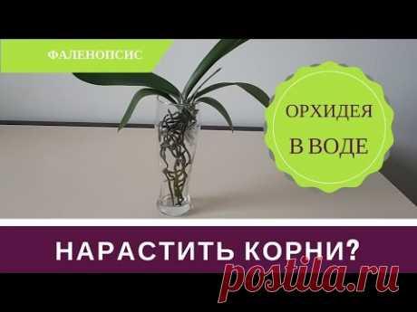Как Нарастить Корни Орхиде
