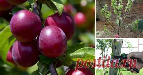 Выращивание сливы в саду – все о посадке, поливе, подкормках и обработках Полезные советы о том, как сажать сливу и ухаживать за ней на протяжении всего вегетационного периода.