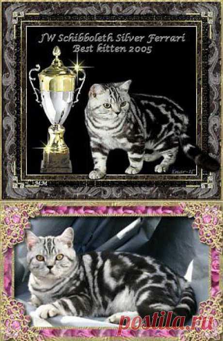 Советы покупателю британской короткошерстной кошки - Bсе для людей!