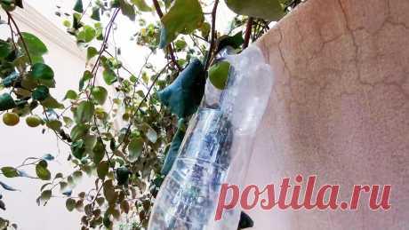 Как сделать простейший сборщик фруктов с высоких веток из ПЭТ бутылки Если вы хотите чтобы ваши фрукты хранились максимально долго, то собирать их нужно особенно осторожно, дабы не повредить кожицу или не уронить плод. Аккуратно собрать фрукты с верхних веток поможет этот наипростейший сборщик из пластиковой бутылки, который можно собрать за 5 минут «на