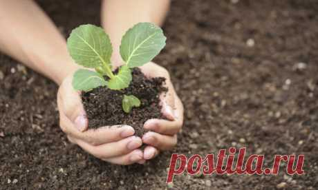 Las plantas de la col: 12 secretos de la cultivación