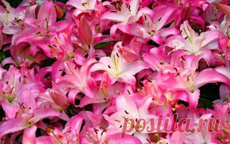 Пересадка и деление лилий — Садоводка