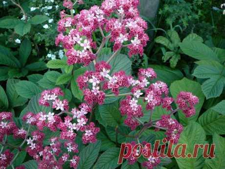 Красивые и неприхотливые дачные цветы о которых незаслуженно забыли | Огородик у дачи | Яндекс Дзен