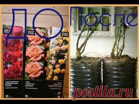 Сохранение роз до посадки + укрепление корневой системы