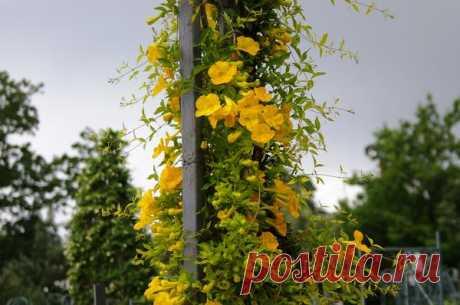 Как создать эффектные вертикали в саду: 4 экзотические лианы для забора или беседки