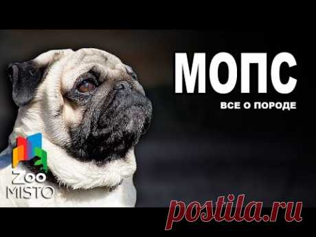 Мопс - Все о породе собаки | Собака породы Мопс