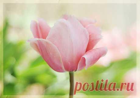 Tulips-from-Garvin-Gardens   Arkansas has so many beautiful …   Flickr